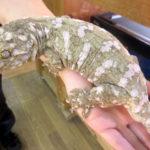 ニューカレドニアジャイアントゲッコウの魅力と飼育方法/値段や大きさなど