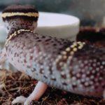 主なキョクトウトカゲモドキ6種紹介と飼育・繁殖方法/価格、性格、多頭飼いはどうやって?