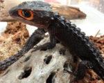 【多湿】アカメカブトトカゲの上手な飼育・繁殖方法(値段や床材など)
