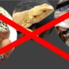本当は教えたくない!初心者にも勧められるマイナーおすすめトカゲ7選