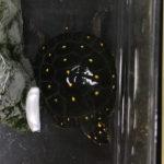 【美麗ミズガメ】キボシイシガメの魅力と飼育方法/価格は?寿命は?屋外飼育は可能?
