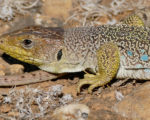 【地表性】ホウセキカナヘビの魅力と飼育・繁殖方法/価格や寿命など
