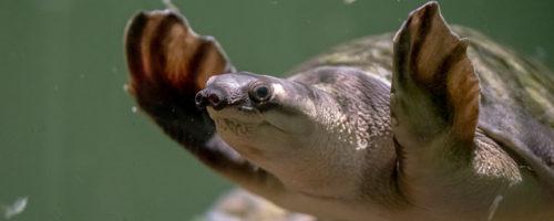 【大型水槽】スッポンモドキの生態と飼育方法/値段など