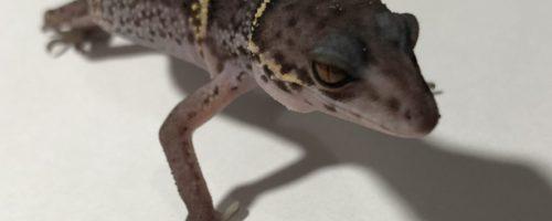 【紅眼の悪魔】ハイナントカゲモドキの魅力と飼育・繁殖方法/性格は?エサは?床材は?